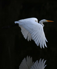 White on Black (soccersc(Jim Allen)) Tags: bird birds wildlife ngc charlestonsc interiordesign