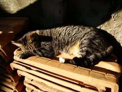 (Giulianna Graber) Tags: pet color brasil cat kat chat sony sp gato katze macska gatto kot lorena kass kissa h9 macja lorenasp qattus conmèo