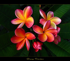 Rare Flowers - The Plumeria Orange Rainbow (mad plumerian) Tags: flowers canon thailand hawaii florida plumeria exotic hawaiian frangipani rare tropicals tropicalflowers a620 kalachuchi hybrids rareplant landscapephotography rareplants exoticflowers flowersinbloom rareflowers rareplantsflowers hybridflowers lelavadee