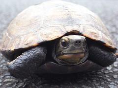 2009.7.22 (kinoshitatomoka) Tags: turtle tortoise  schildkrte