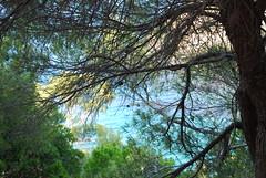 through the pine trees (venetia koussia) Tags: blue seagulls swimming sundown geranium rockybeach sandybeach sporades skiathosisland summeringreece  greekfona