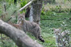 European Wildcats (Truus & Zoo) Tags: netherlands animals zoo wildcats dierentuin nuenen dierenrijk felissilvestrissilvestris europesewildekat europeanwildcat leastconcern