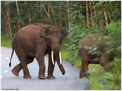 A Day with an Elephant Herd! (Naseer Ommer) Tags: india pachyderm kerala elephants karnataka waynad elephasmaximus tusker roadclosure bandipurtigerreserve naseerommer waynadwildlifesanctuary malayalikkoottam keralagovt karnatakagovt