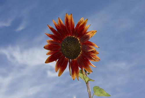 フリー画像| 花/フラワー| 向日葵/ヒマワリ|         フリー素材|