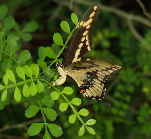 Sawgrass Lake Park: Swallowtail Laying Eggs