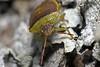 Stink Bug Staredown (Emery O) Tags: macro green wisconsin canon bug beetle stink 180mm greenstinkbug hilare 50d crivitz acrosternum acrosternumhilare 580exii macrolife