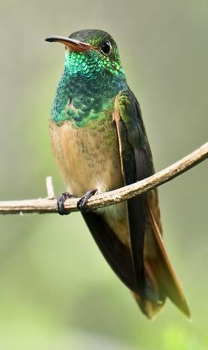 Buff Bellied Hummingbird