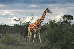 Elegance (Ben Heine) Tags: voyage africa travel trees light sky favorite orange art texture nature beauty grass silhouette clouds composition print relax bush mess poem colours skin cloudy kenya walk lumire branches peaceful compo nikond70s safari ciel longneck rainy photomontage species giraffe savannah nuages copyrights herd dieren extinction peau symbolism nationalgeographic girafe discover elegance bigfive wildanimals giraf marcher buisson dsordre troupeau animauxsauvages benheine elagant longcou hubertlebizay hubzay onceuponatimeinkenya infotheartisterycom