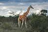 Elegance (Ben Heine) Tags: voyage africa travel trees light sky favorite orange art texture nature beauty grass silhouette clouds composition print relax bush mess poem colours skin cloudy kenya walk lumière branches peaceful compo nikond70s safari ciel longneck rainy photomontage species giraffe savannah nuages copyrights herd dieren extinction peau symbolism nationalgeographic girafe discover elegance bigfive wildanimals giraf marcher buisson désordre troupeau animauxsauvages benheine elagant longcou hubertlebizay hubzay onceuponatimeinkenya infotheartisterycom