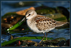 Western Sandpiper - Whiffin Spit (TT_MAC) Tags: fab bird nature sandpiper shorebird westernsandpiper calidrismauri whiffinspit specanimal sookebc platinumphoto ultimateshot avianexcellence theunforgettablepictures thatsclassy