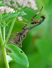 Climbing Mantis (Jim McConnell) Tags: macro closeup mantis insect backyard nikon prayingmantis naturesfinest d90