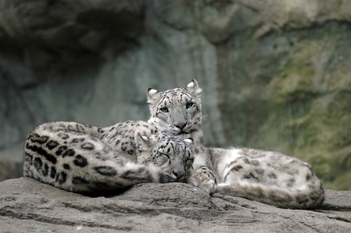 Snow Leopards2