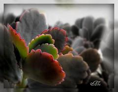 CONTRASTI INSPERATI (acqua1951) Tags: grigio colore picnik vegetazione piantagrassa