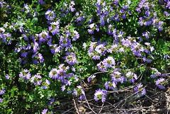 Violet indigoness