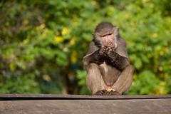 2009-10-18-11h20m34.272P8138l (A.J. Haverkamp) Tags: zoo thenetherlands amersfoort hamadryasbaboon papiohamadryas dierentuin dierenparkamersfoort mantelbaviaan httpwwwdierenparkamersfoortnl canonef100400mmf4556lisusmlens