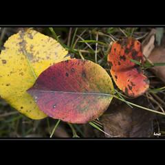 Color my World (horstmall) Tags: fallleaves fallcolors owen couleursdautomne peartree schwäbischealb automnal swabianalps herbstfarben herbstlich herbstblätter herbstblaetter lenningertal jurasuabe horstmall birnbaumblätter birnbaumblatt feuillesdautome
