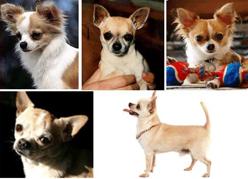 Chihuahua: Cel mai mic căţel din lume