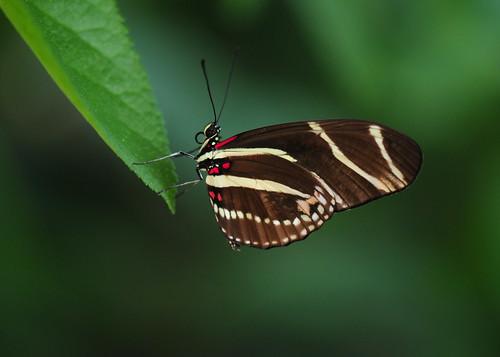 フリー画像| 節足動物| 昆虫| 蝶/チョウ| キジマドクチョウ|       フリー素材|
