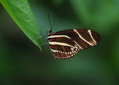 [フリー画像] [節足動物] [昆虫] [蝶/チョウ] [キジマドクチョウ]       [フリー素材]