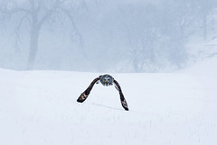 Grey owl snow flight (Mike Ashton) Tags: winter snow cold bird fauna nikon wildlife avianexcellence dapagroupmeritaward5 dapagroupmeritaward4 spsfeatured