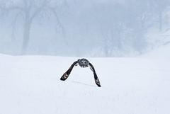 Grey owl snow flight (Mike Ashton) Tags: winter snow cold bird fauna nikon wildlife avianexcellence dapagroupmeritaward5 dapagroupmeritaward4 spsfeatured