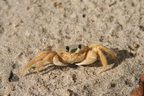 animals marine crab beaches Brazil