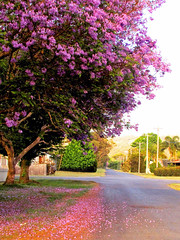 Jacaranda Dreams... (Monique Barber) Tags: road morning pink flowers trees sunset summer sun flower tree green nature beauty grass sunrise carpet petals spring purple country australia petal mauve jacaranda centralcoast peninsula uminabeach