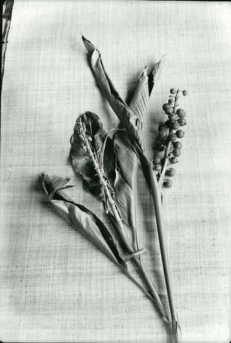 Alpinia specimen photographed aboard the Cheng Ho