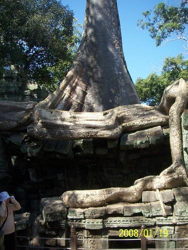 tree cambodia angkor taprohm treeroots rajavihara