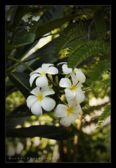 Plumerias ([ Michel ]) Tags: flower colour beautiful canon thailand whiteflower colours plumeria bokeh chiangmai plumerias 450d canoneos450d tamron18270 tamron18270mm 18270mm