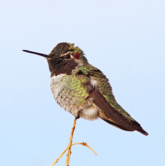 Anna's Hummingbird (Calypte anna), male (steveberardi) Tags: california red male green bird hummingbird desert wildlife annas coloradodesert calypteanna