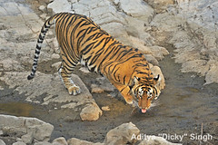 AS_000002080 (dickysingh) Tags: wild india outdoor wildlife tiger bigcat aditya ranthambore singh ranthambhore dicky naimal adityasingh ranthamborebagh theranthambhorebagh wwwranthambhorecom