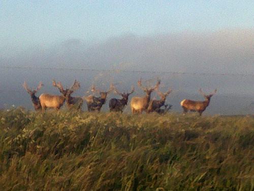 Tule Deer