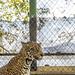 Jaguar Gamboa Wildlife Rescue pandemonio 2017 - 04