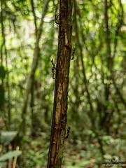 "Bullet ants <a style=""margin-left:10px; font-size:0.8em;"" href=""http://www.flickr.com/photos/148015128@N06/32709132941/"" target=""_blank"">@flickr</a>"