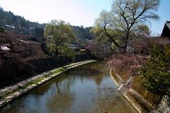 Miyagawa river (ChaosTangent) Tags: trees water japan river blossoms jp cherryblossom sakura takayama gifu miyagawa