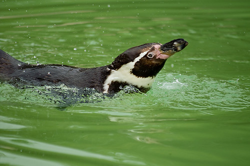 Splashing penguin