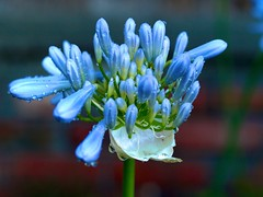 Just A Bit Of Rain, #4 (vajra) Tags: flowers blue flower agapanthus