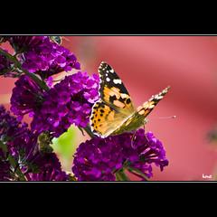 Feeding (horstmall) Tags: pink butterfly de lila alb schmetterlinge paintedlady vanessacardui sommerflieder distelfalter buddlejaalternifolia jurajura jurasuabe buddleiaalternifolia horstmall sswab