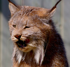Lynx! (judo_dad1953) Tags: nature cat feline pentax wildlife lynx ecomuseum canadianlynx aplusphoto