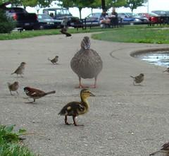 Duckling 1