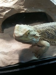 Bearded dragon at Boonshoft Museum in Dayton