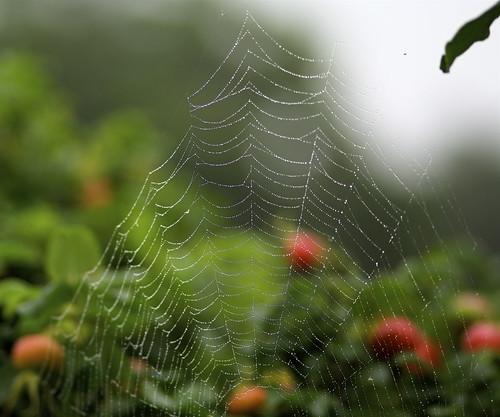 Dew cobweb
