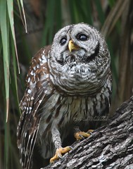 Barred Owl (Rick Shackletons Photographic Adventures) Tags: rick shackleton barredowl floridawildlife naturesfinest naturesgarden hendrycounty theunforgettablepictures dinnerisland floridawma floridaowl rickshackleton