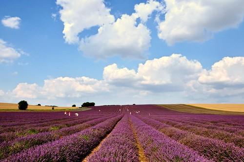 Parallel Perfume Plantings