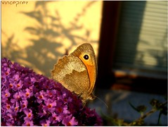 The Shadow Of A Butterfly (VincePrey) Tags: pink flowers light brown house wall germany insect butterflyshadow
