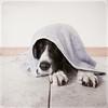 after the run (jessthespringer) Tags: ireland dog texture nikon merci flash jess remote englishspringerspaniel warrenpoint sb800 sigma1020 d80 thelittledoglaughed jessthespringer bylesbrumes