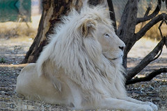 Letsatsi, the White lion. (Son of Temba) (Arno Meintjes Wildlife) Tags: africa park camp wallpaper nature animal southafrica mammal bush leo wildlife lion safari bigcat rsa krugernationalpark kruger timbavati pantheraleo parkstock pantheraleokrugeri temba genuspanthera letsatsi arnomeintjes globalwhitelionprotectiontrust