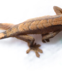 Dragon Spine (Good Ol' Charlie Brown) Tags: baby reptile small lizard tiny gecko hatchling babygecko sethhall azshall