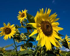 Sunflowers (paul indigo) Tags: blue yellow sunflowers